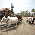 Beef ban and the challenges before Maharashtra govt
