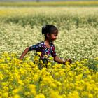 The desi genetic engineer and his fine crop of mustard