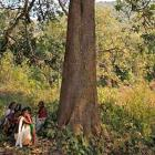 Industry will soon be able to fell trees without tribal consent