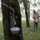 Why rubber plantation in Northeast is not that great an idea
