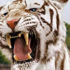 Meet The Tigers of Bollywood
