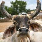 'Cow smuggler' shot dead by Haryana police in encounter