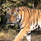 Scientists quarrel over India's tiger numbers