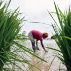 Indian scientists' new DNA chip for speeding up rice breeding