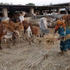 Centre wants UID for every cow in country to curb smuggling