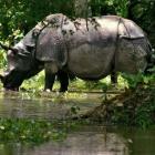 No home for rare rhinos: Floods in Assam spell doom