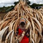 Why Kenya is burning 100 tonnes of ivory