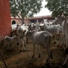 Will break limbs of those who don't consider cow as mother: BJP MLA