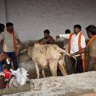 PHOTOS: A day in the life of a 'gau rakshak'