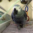 Bizarre! Foul-mouthed pet parrot is a murder witness in US