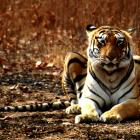 Maharashtra CM hopeful that 'Jai' the missing tiger will return