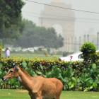 PHOTOS: Nilgai strays into North Block area, rescued after 4 hours