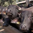 3 men thrashed for transporting buffaloes in Delhi, arrested