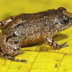 7 new frog species found in Western Ghats