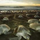 Olive Ridley turtles are back for nesting