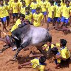 Has Jallikattu ban revived TN's regional pride?
