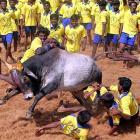 Has Jallikattu ban revived TN's regional pride?