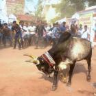 Guv approves ordinance, Jallikattu to be held in TN on Sunday