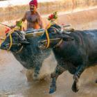Karnataka now mulls passing ordinance on buffalo racing sport Kambala