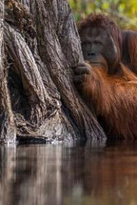 Why so shy, orangutan?
