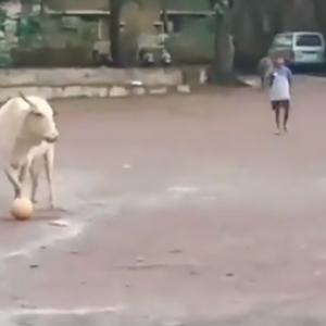 Cow playing football is a winner on the internet