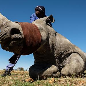 Can dehorning really save the rhinos?