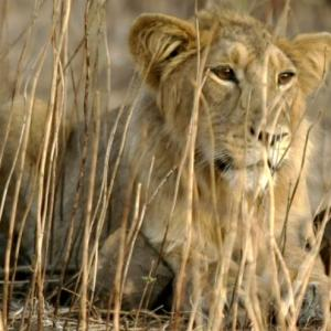 Viral, bacterial infections killed 17 of 23 lions: Gujarat govt to HC