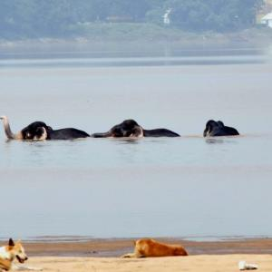 Swept away from herd in Mahanadi river, 5 elephants swim to safety
