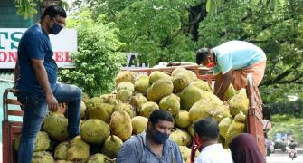 'Jackfruit flour may control diabetes'