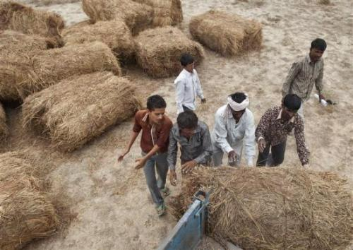 Farmers load fodder supplied by the government for their cattle at Sami village in Gujarat.