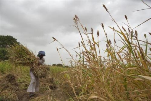 A farmer harvests partially damaged crop due to lack of rain at Sami village in of Gujarat.