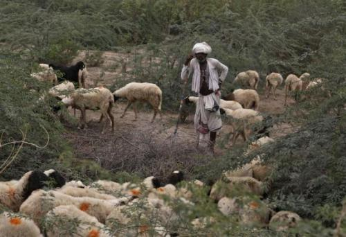 A villager migrates with his sheep due to lack of water at Kuraga village in Gujarat.