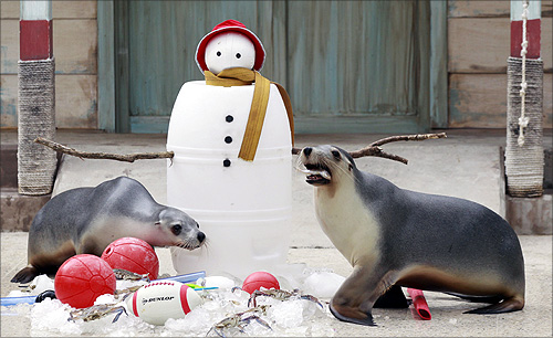 Seals enjoy Christmas treats left next to an artificial snowman at Taronga zoo in Sydney.
