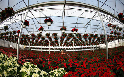 A worker waters poinsettia plants at the Serre des Iles greenhouse in Levis.
