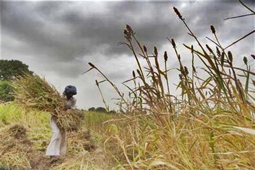 A farmer harvests partially damaged crop due to lack of rain.