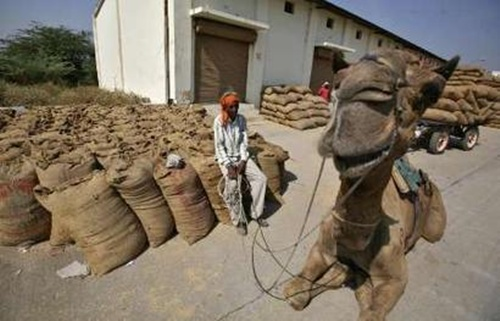 A herdsman rests on sacks filled with rice next to his camel at an agriculture produce marketing committee yard at Sanand.