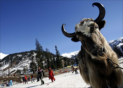 A yak is seen close to tourists after a snowfall in Solang Valley in Himachal Pradesh.