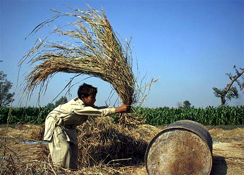 A boy threshes rice against an empty drum on the outskirts of Faisalabad, Pakistan.