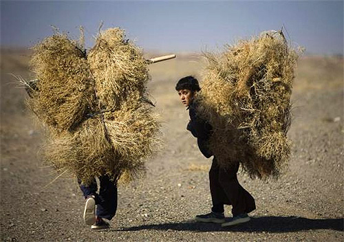 Afghan boys carry dried twigs while walking in a desert near Herat.