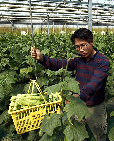 Suh Jeong-deok, a former head researcher for Hanwha Chemical Corp, works at his cucumber farm in Sangju, about 270 km (168 miles) southeast of Seoul.