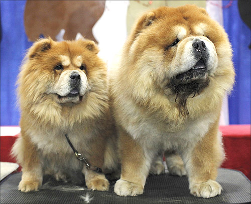 Quixote, 6, and Ashley (L), 4, of the Chow Chow breed, are displayed at their stand during the American Kennel Club's (AKC) Meet the Breeds event in New York.