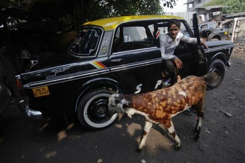 A goat walks past a mechanic sitting inside a Premier Padmini taxi before it's scrapped at a scrap yard in Mumbai.