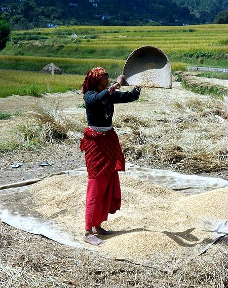 Rice winnowing, Uttarakhand, India.