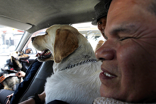 Juan Perez (R) accompanied by his guide dog Isac and Jane Cosar and her guide dog Cubbe travel in a taxi in Lima.
