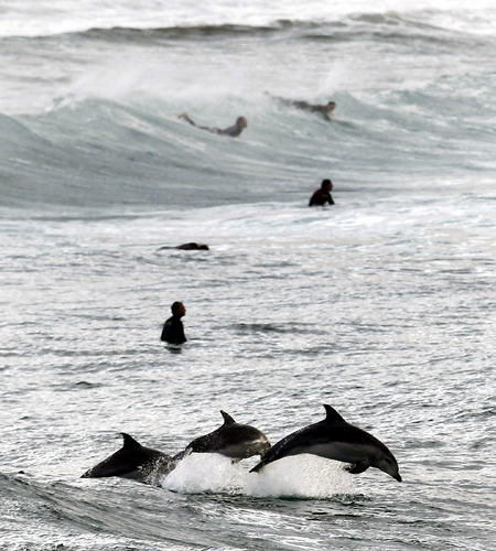 Surfers wait for waves as dolphins leap in the waters of Bondi Beach in Sydney.