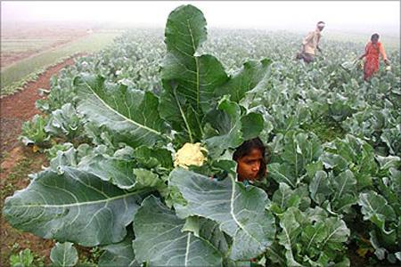 A farmer and his family work at their cauliflower field amid dense fog.