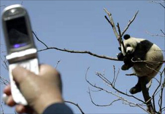 A visitor uses a mobile phone to take a photo of a giant panda sleeping in a tree in Beijing Zoo.
