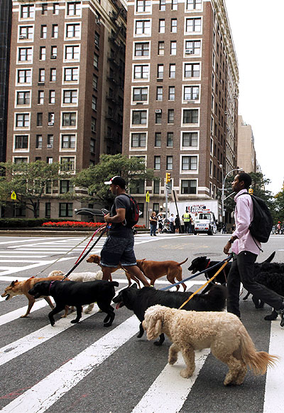 Dog walkers walk across a street while walking down Park Avenue in the upper east side of New York.