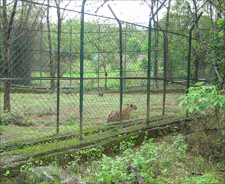 A tiger paces along a fenced-in area of the park