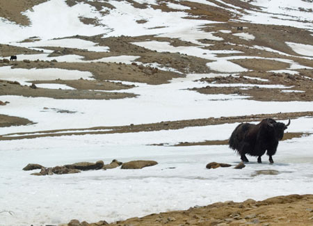 The shy yak turned away from the cameras